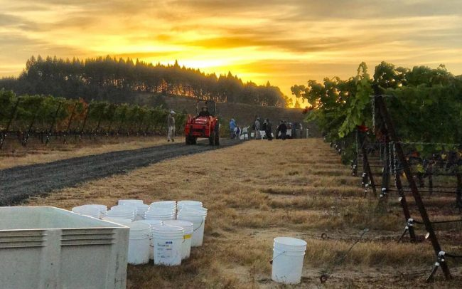 Bradshaw Vineyards Harvest Sunrise